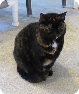 Domestic Shorthair Cat for adoption in Geneseo, Illinois - Kinks