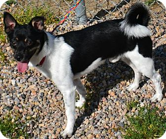 Rat Terrier Mix Dog for adoption in Fruit Heights, Utah - Rowley