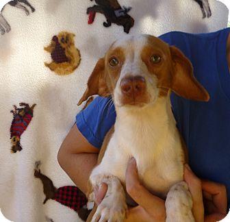 Dachshund/Beagle Mix Dog for adoption in Oviedo, Florida - Nick