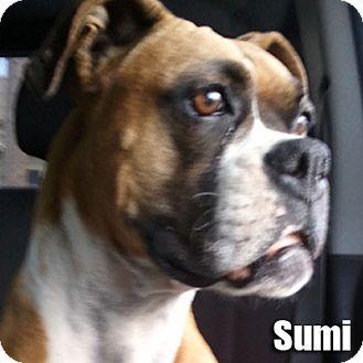 Boxer Dog for adoption in Encino, California - Sumi