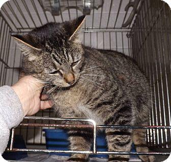 Domestic Shorthair Cat for adoption in Henderson, North Carolina - Amber
