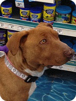 American Staffordshire Terrier Dog for adoption in Ogden, Utah - Roxy
