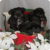 Adopt A Pet :: Reba's pups - Chandlersville, OH
