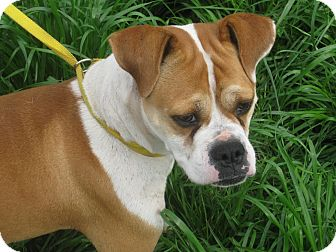 Boxer Mix Dog for adoption in Portland, Maine - Madison