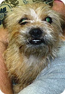 Cairn Terrier Mix Dog for adoption in Eastpoint, Florida - Buttercup