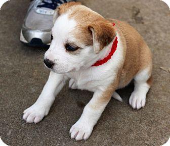 Australian Shepherd Mix Puppy for adoption in Lisbon, Iowa - Ginger