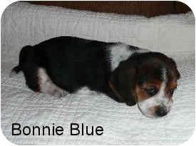 Basset Hound Mix Puppy for adoption in Phoenix, Arizona - Bonnie Blue