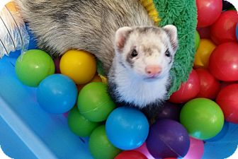 Ferret for adoption in Brandy Station, Virginia - Dexter & Murray