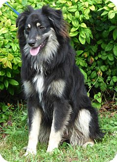 Australian Shepherd Mix Dog for adoption in Newburgh, New York - Sassy