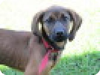 Coonhound/Labrador Retriever Mix Puppy for adoption in Waldron, Arkansas - ROSE  URGENT!!! HIGH KILL ANIMAL CONTROL