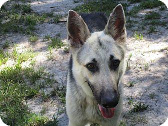 German Shepherd Dog Dog for adoption in Green Cove Springs, Florida - Sandy