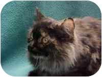 Domestic Longhair Cat for adoption in Ephrata, Pennsylvania - Muffin