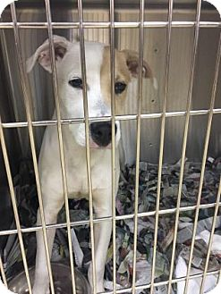American Bulldog/Pointer Mix Dog for adoption in Miami, Florida - Tanner