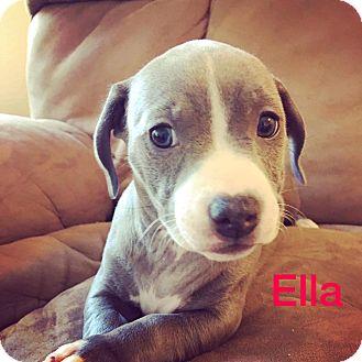 Dachshund/American Staffordshire Terrier Mix Puppy for adoption in Concord, California - Ella