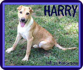 Labrador Retriever/Terrier (Unknown Type, Medium) Mix Dog for adoption in Albany, New York - HARRY
