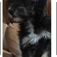 Adopt A Pet :: Chulis (in adoption process) - El Cajon, CA