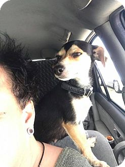 Dachshund Mix Dog for adoption in Phoenix, Arizona - Ballerina