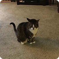 Adopt A Pet :: Lily/DECLAWED - Bryn Mawr, PA