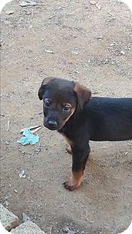 Hound (Unknown Type)/Doberman Pinscher Mix Puppy for adoption in Burlington, Vermont - Penny