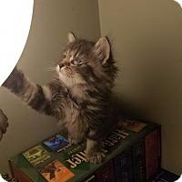 Adopt A Pet :: Kitana - Brownsboro, AL