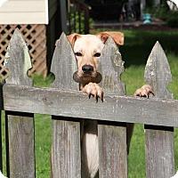 Adopt A Pet :: Bella Happy Flying Nun Ears! - Rowayton, CT