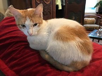 Domestic Mediumhair Cat for adoption in Philadelphia, Pennsylvania - Zoey