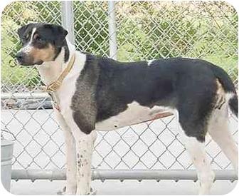 English Springer Spaniel/Pointer Mix Dog for adoption in Austin, Minnesota - Winnie