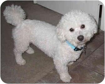 Bichon Frise Dog for adoption in La Costa, California - Riley
