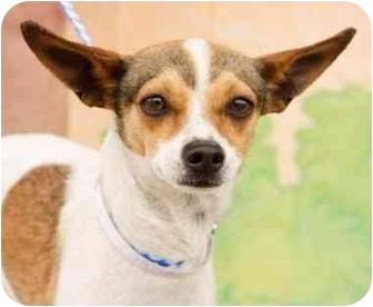 Chihuahua/Italian Greyhound Mix Dog for adoption in Encino, California - OPAL