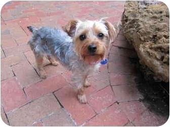 Yorkie, Yorkshire Terrier Dog for adoption in West Palm Beach, Florida - Hollie
