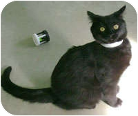 Domestic Shorthair Cat for adoption in Creston, British Columbia - Pansy