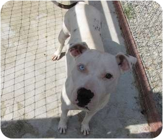 American Bulldog Dog for adoption in Lawrenceburg, Tennessee - Layce