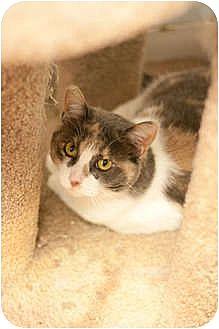 Domestic Shorthair Cat for adoption in Los Angeles, California - Tanga