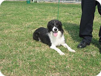 Collie Puppy for adoption in Jersey City, New Jersey - Gwen Cooper