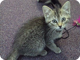 Domestic Mediumhair Kitten for adoption in Memphis, Tennessee - Fuzzy