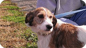 Terrier (Unknown Type, Medium) Mix Dog for adoption in Broadway, New Jersey - Scruffy