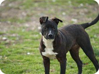 Boston Terrier/Terrier (Unknown Type, Small) Mix Dog for adoption in Lilbourn, Missouri - Leda