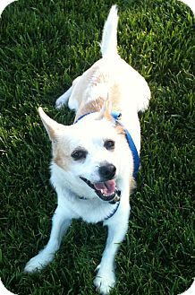 Corgi/Chihuahua Mix Dog for adoption in Tracy, California - Peanut Butter-ADOPTED!