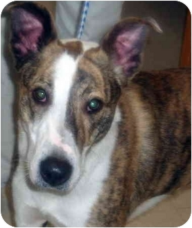 Greyhound Mix Dog for adoption in Greensburg, Pennsylvania - Racer