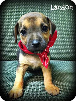 Jack Russell Terrier/Chihuahua Mix Puppy for adoption in Brattleboro, Vermont - Landon