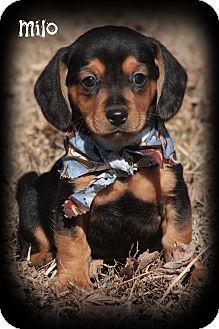 Dachshund/Miniature Pinscher Mix Puppy for adoption in Brattleboro, Vermont - MILO