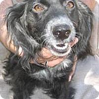 Adopt A Pet :: Sweet Pea - Chandler, AZ