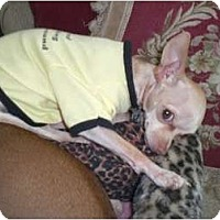 Adopt A Pet :: Pinky/ LOST DOG - spring valley, CA