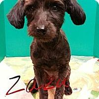 Adopt A Pet :: Zack - St. Robert, MO