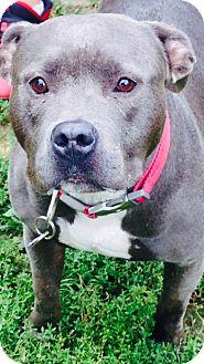 American Pit Bull Terrier Dog for adoption in South Park, Pennsylvania - Faith
