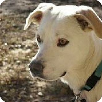 Labrador Retriever Mix Dog for adoption in Austin, Texas - Jobi
