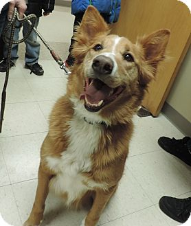 Golden Retriever/Border Collie Mix Dog for adoption in Sioux City, Iowa - MAX