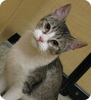 Domestic Shorthair Cat for adoption in Tulsa, Oklahoma - Aurora