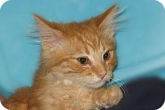 Domestic Longhair Kitten for adoption in Cardwell, Montana - Emmitt