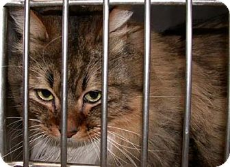 Maine Coon Cat for adoption in Oakland, California - Victor